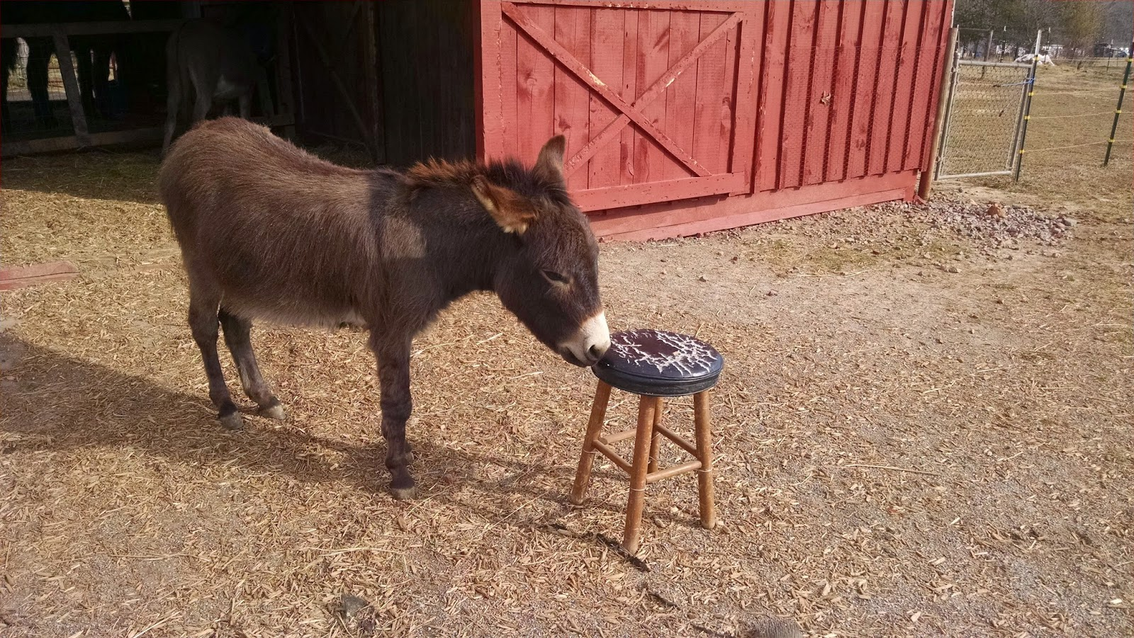 miniature donkey and a small sitting stool