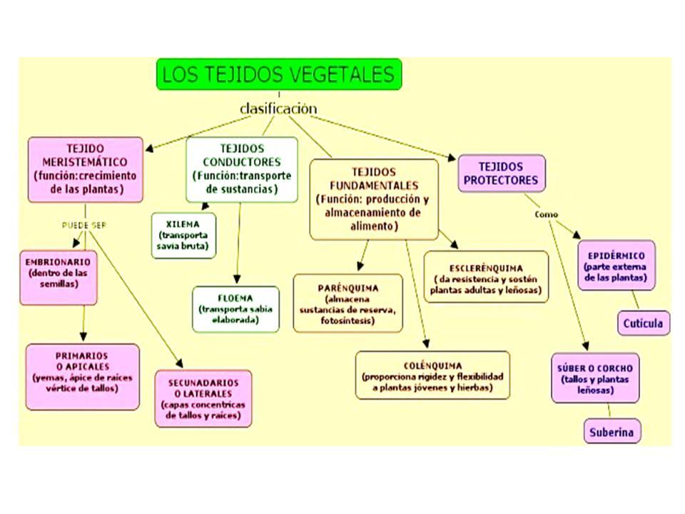 Biolog a grado s ptimo 2016 presentaci n tejidos vegetales for Plantas fundamentales