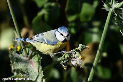 Mallerenga blava (Cyanistes caeruleus)