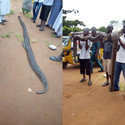 FINALLY!!! 30-year-old Female Python Killed in Ilorin