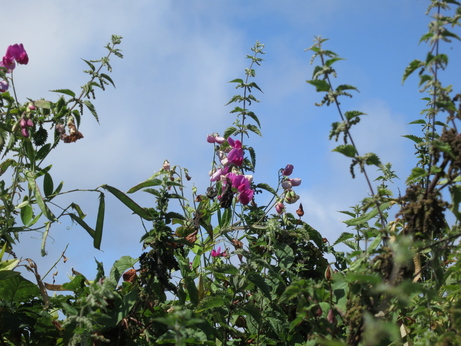 Purple sweet pea flowers tangled with flowering nettles
