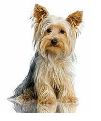 razas de perros pequeños yorkshire