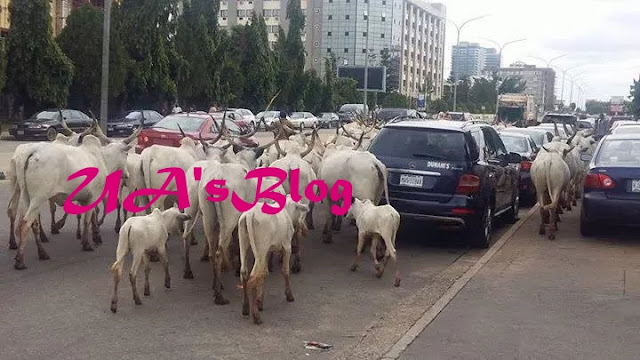 Traffic obstructions by herdsmen, cows, worrisome – FRSC