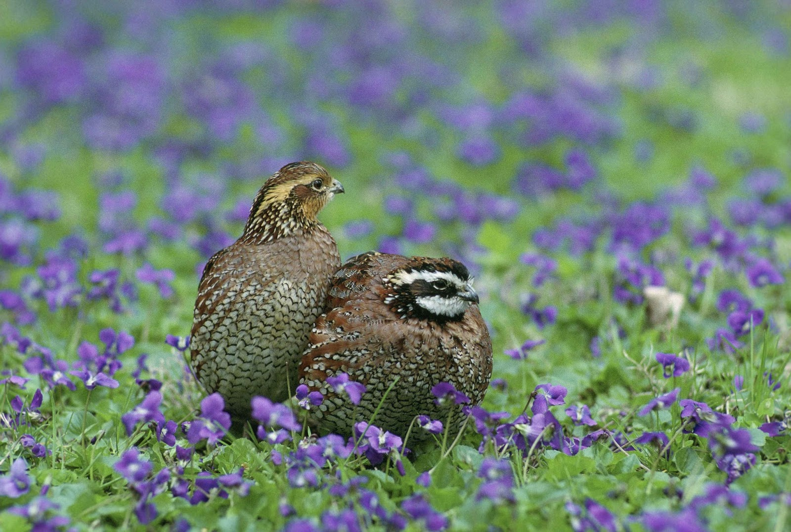 Picture of a male and female bobwhite.