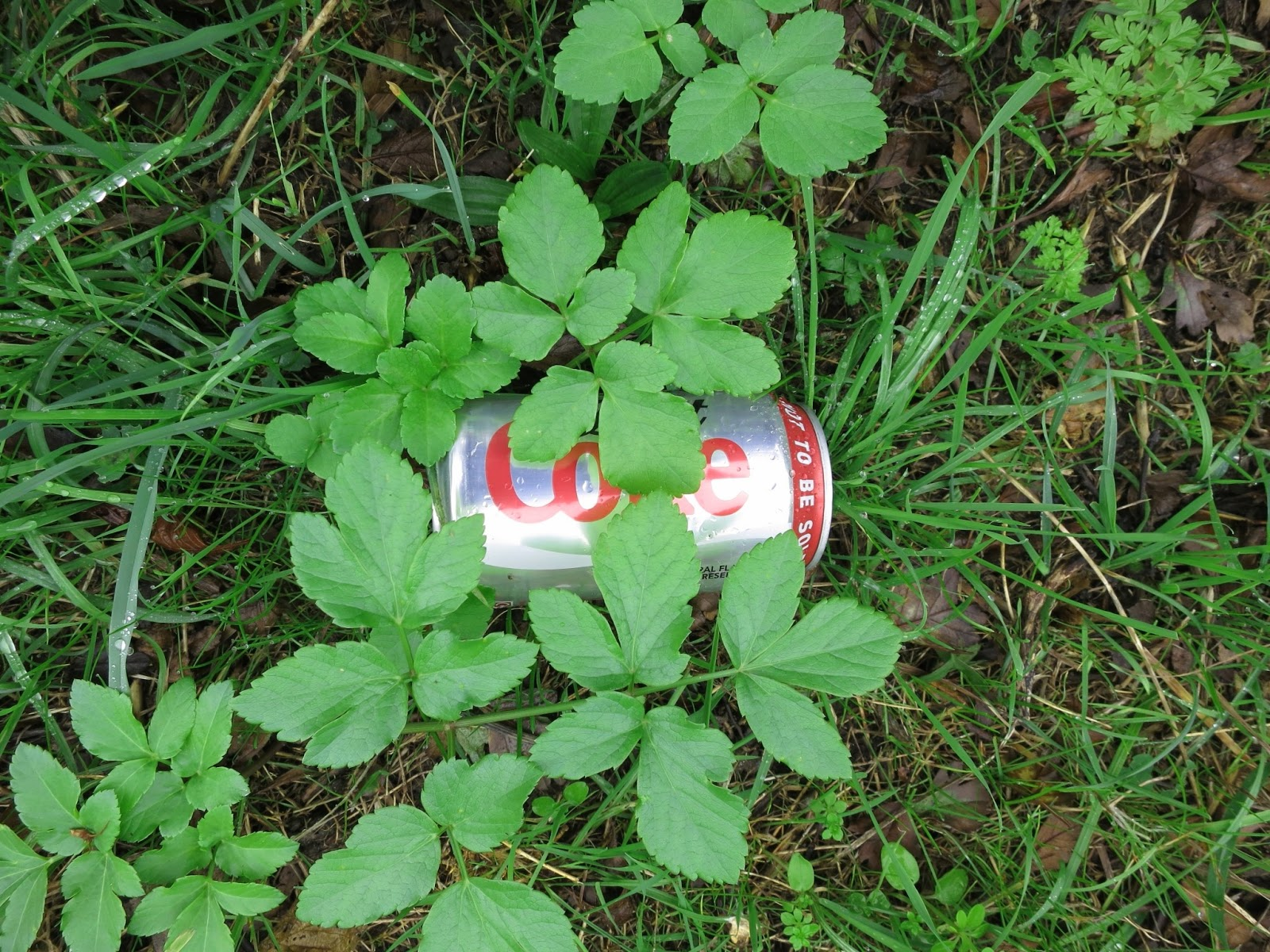 Empty coke can and short alexanders after rain.