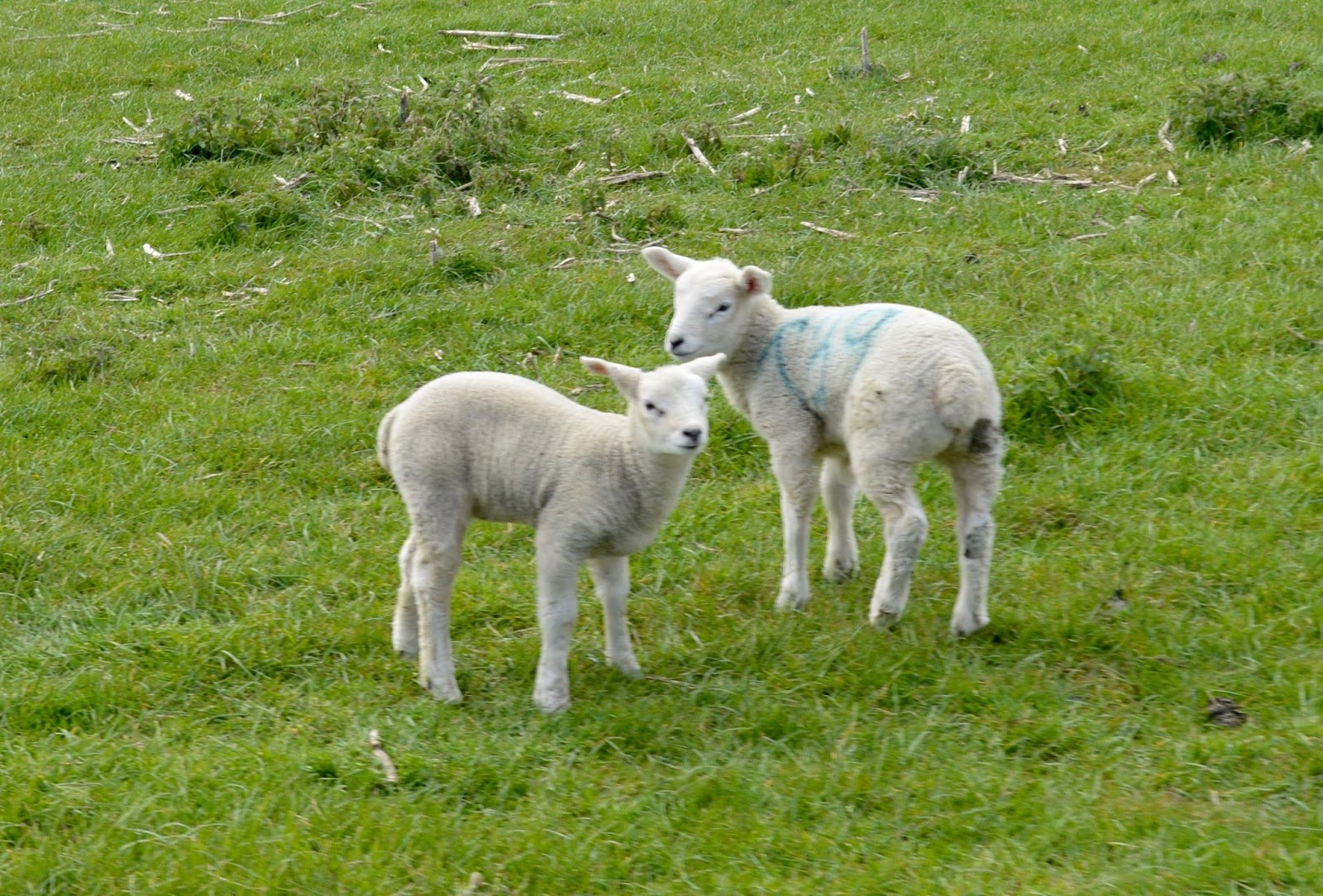 Birthday Parties at Whitehouse Farm in Northumberland | What to expect & review - lambs