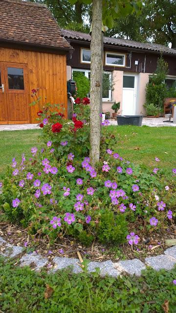 Rose und Storchschnabel unterm Hausbaum   (c) by Joachim Wenk