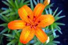Macam - macam Bunga Lily