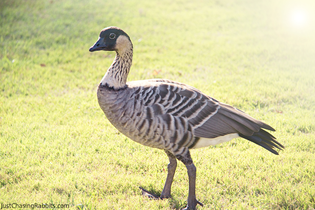 Nene Goose, Hawaii's state bird, at the Smith Family Luau