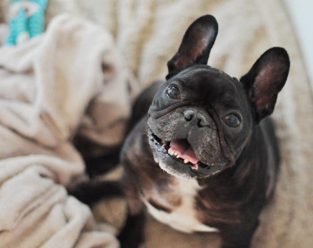 Mini Bulldog Breed | The Pets Dialogue