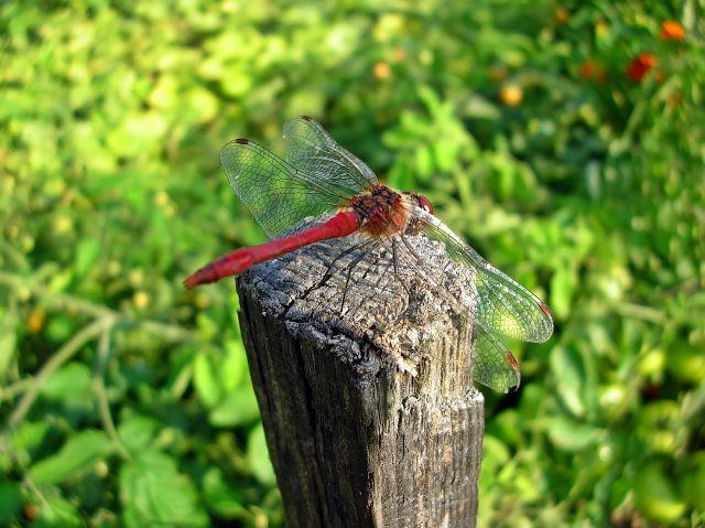 ważki, owady, fotografia przyrodnicza