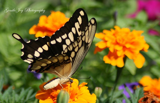 butterfly on a orange marigold plant_ butterfly photography