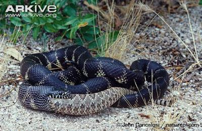 Snake feeding a Rattlesnake
