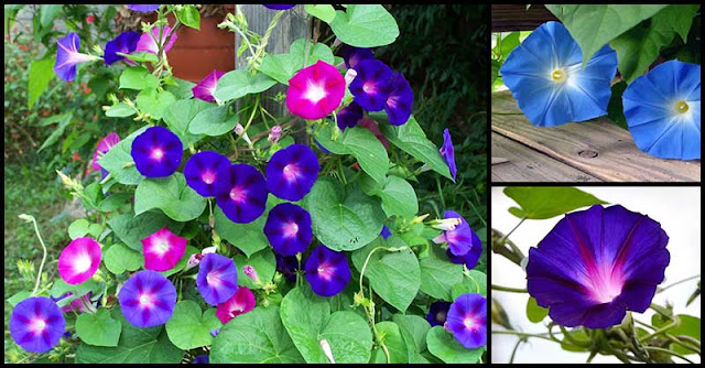 Morning Glory Flower: A Beautiful Bloom That Possesses Amazing Healing Capabilities
