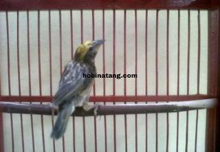 jenis burung manyar tempua