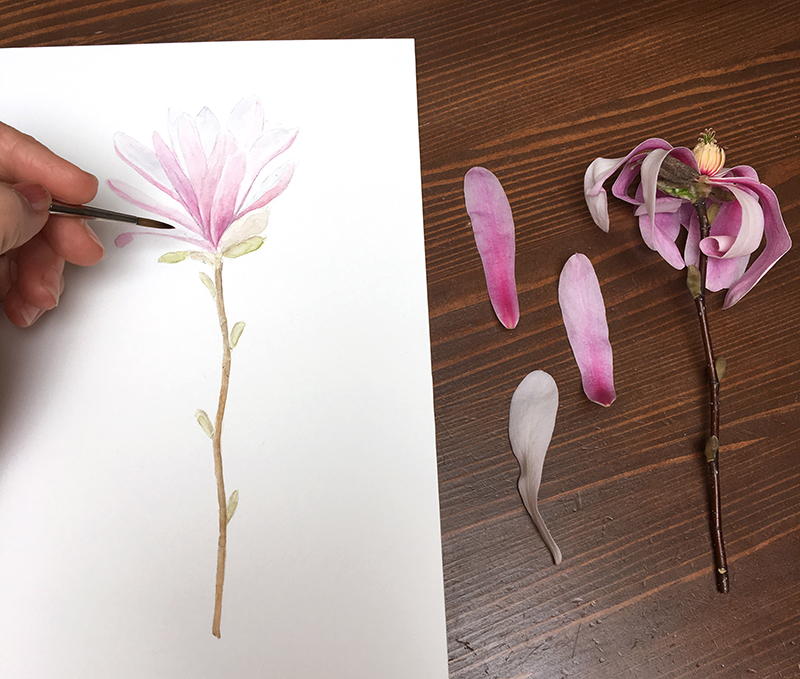 Star magnolia watercolor painting in progress