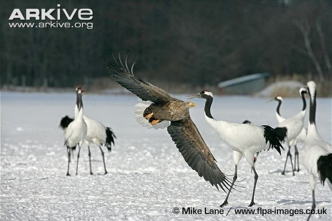 interactions between asian birds white tailed eagle