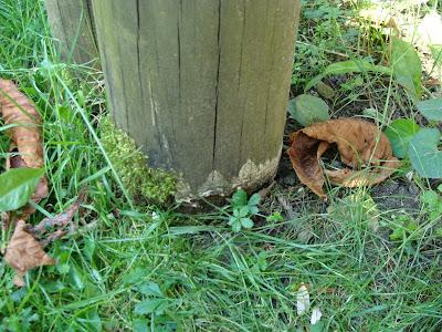 Uszkodzenie drewna na styku ziemia powietrze