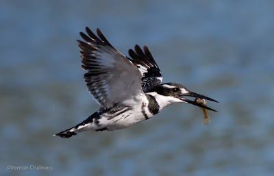 Early morning Pied King Fisher - Woodbridge Island 05