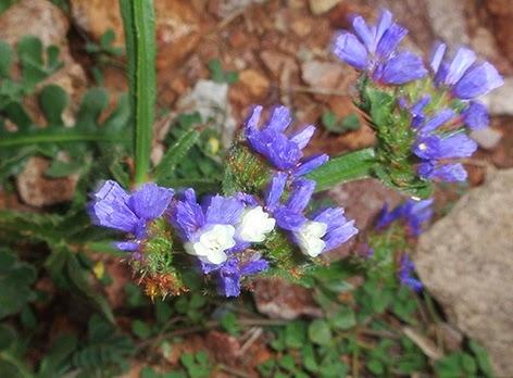 Siempreviva azul (Limonium sinuatum)