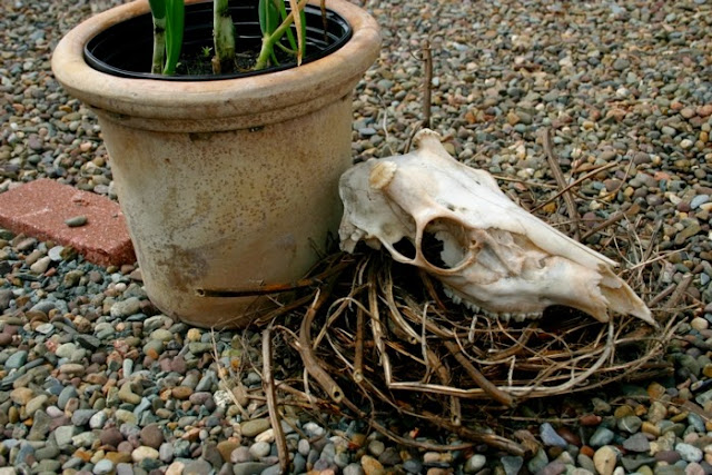 Red onions in clay pot with  goat skull, dried weeds & feather.