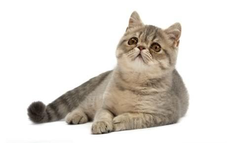 Kucing Exotic Shorthair Salah Satu Jenis Kucing Bulu Pendek Yang Populer Blog Kucing Shorthair