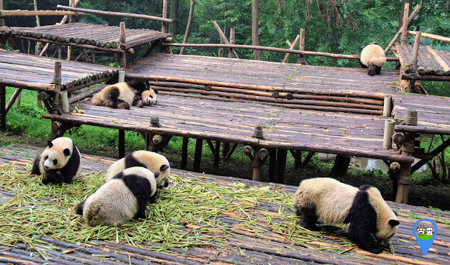 Panda are stretching themselves before their morning meals at Chengdu Panda Breeding Research Centre in Sichuan province of China