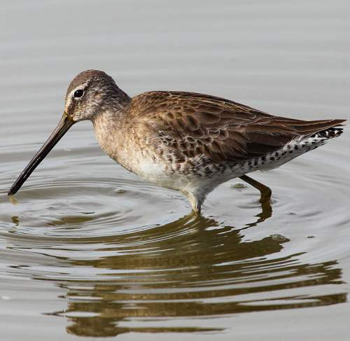 Indian birds - Image of Long-billed dowitcher - Limnodromus scolopaceus