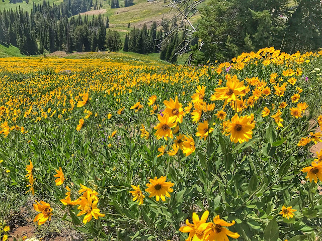 Wildflowers along the Mt. Washburn trail