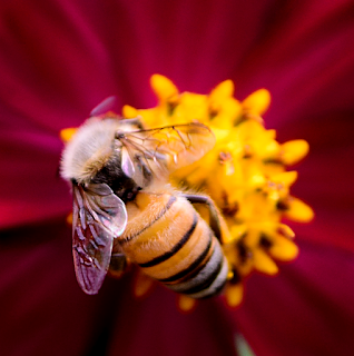 short wing bee