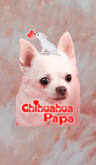 Chihuahua Papa @Cute dog