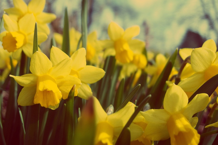 Spring daffodils for Lent - Peaches and Bear Lifestyle and Travel Blog