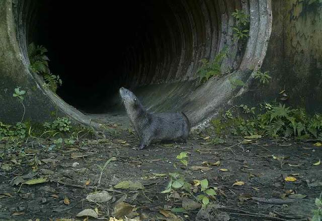 Travessias de animais protegem a fauna silvestre na Régis Bittencourt