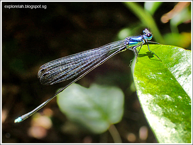 Lightning Blue Damselfly