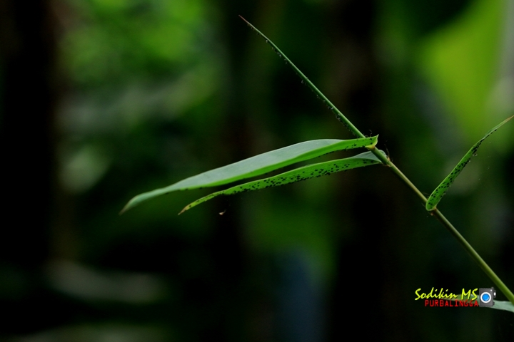 Foto artistik daun bambu Pringgondani untuk hiasan halaman rumah