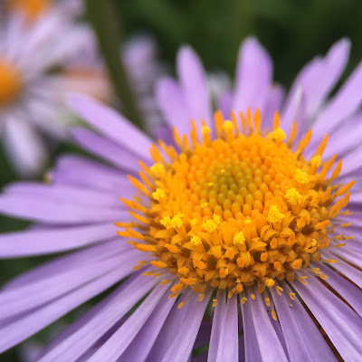 Aster, taken with iPhone 6s and Olloclip macro lens