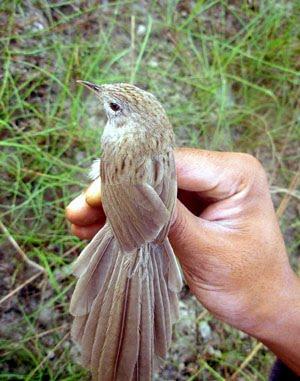 Pássaro do Nepal (Prinia burnesii nepalensis)