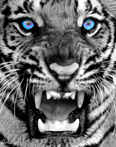 Amazing White Tigers With Blue Eyes Wallpaper Amp Pictures