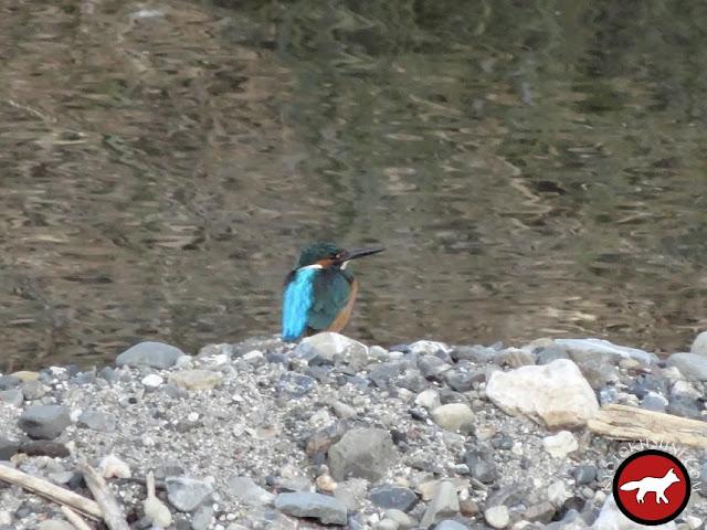 Martin pêcheur à la rivière Kamo à Kyoto