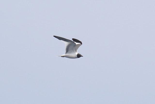 Adult Sabine's Gull