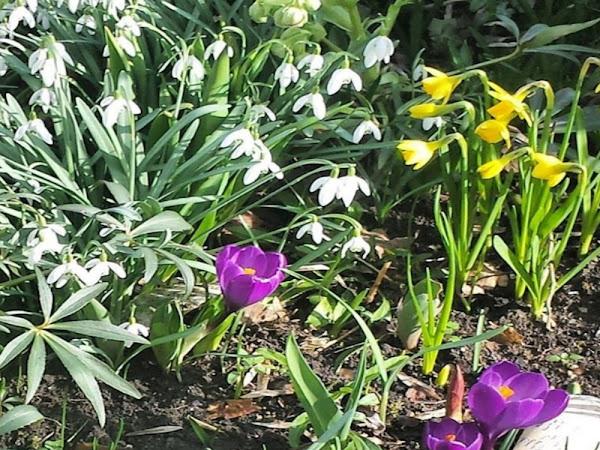 My Sunday Photo #17 Snowdrops & Daffodils