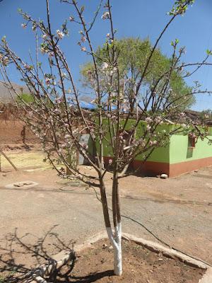 Auch die Apfelbäume blühen