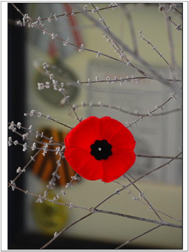 Why the Red Poppy? | Letsheatit