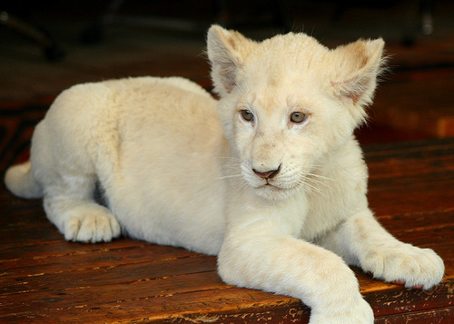 Cute Tiger Cubs Hd Wallpapers Cute White Lion Cubs My Hd Animals