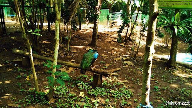 koleksi burung merak eco green park batu