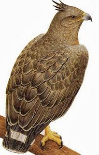 Águila coronada Buteogallus coronatus