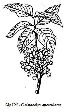 Hình vẽ Cây Vối - Cleistocalyx operculatus - Nguyên liệu làm thuốc Chữa Bệnh Tiêu Hóa