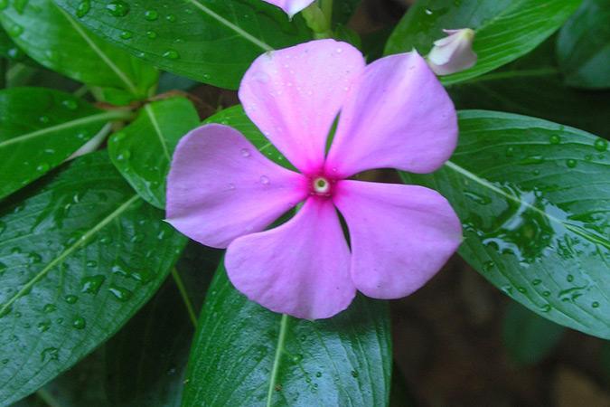 Dlium Madagascar periwinkle (Catharanthus roseus)