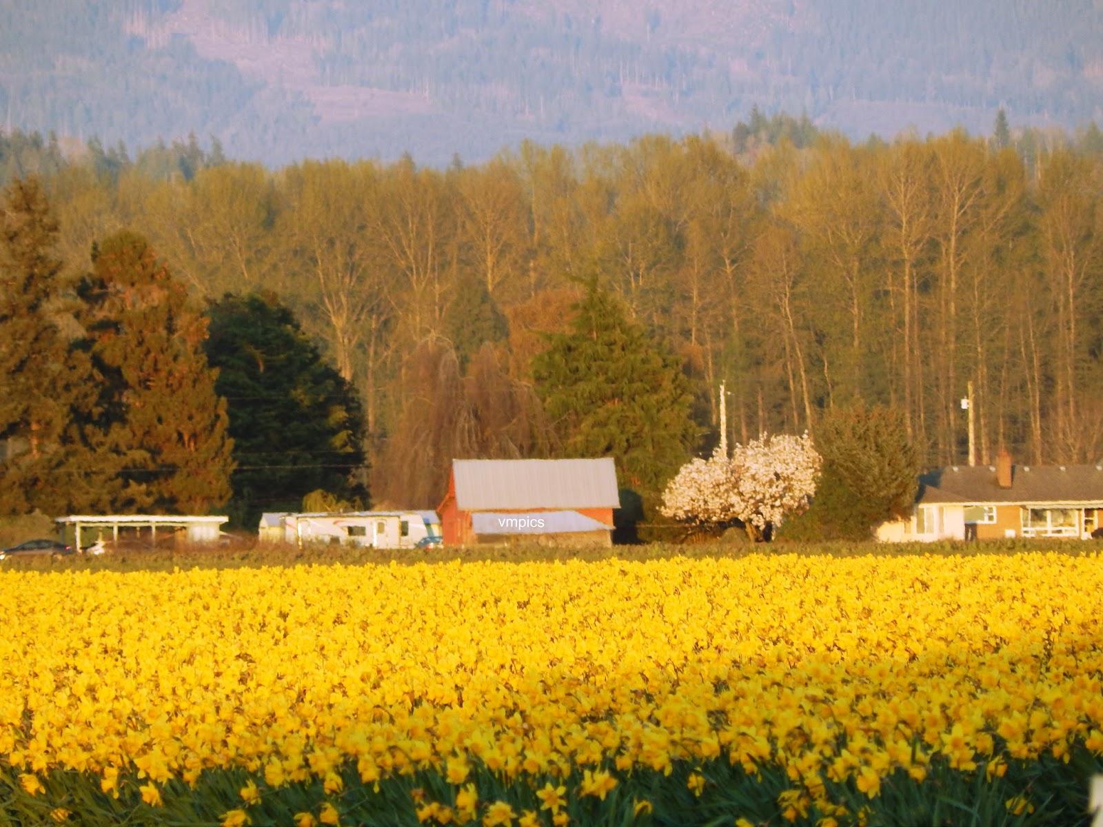 Tulip Fields of Skagit Valley