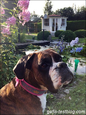 Boxer Amy in Opas Garten